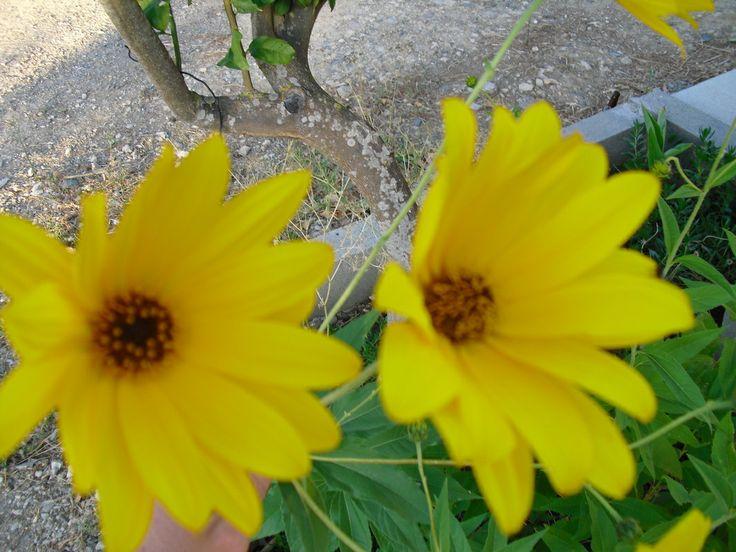 Flores de Mel | Preço por unidade: 0,80€ | Referência: F008 | Mais informações em: http://biokafs-agro.weebly.com/flores.html