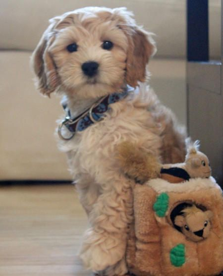 Otis the Labradoodle Pictures. He's so cute he doesn't look real! And ohmygosh, my dog has the same toy!
