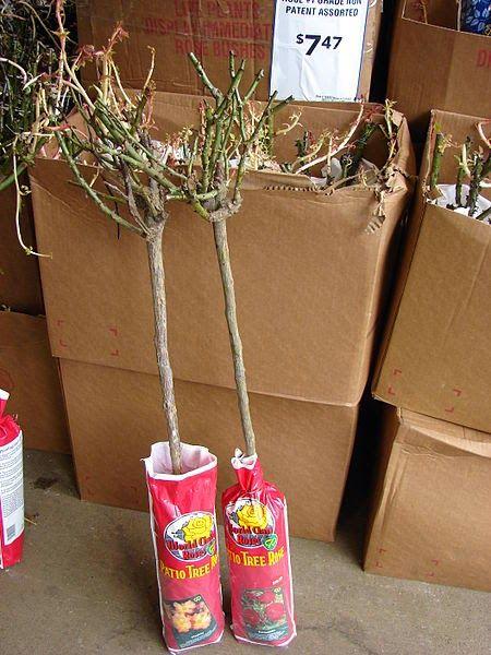 Jak kupować róże z przeznaczeniem na balkon i taras. Donica czy korzeń?