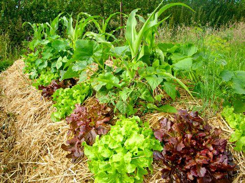 """""""Pailler le sol"""" signifie couvrir la surface du sol, avec par exemple des feuilles mortes, des tontes de gazon, du BRF (Bois Raméal Fragmenté), de la paille... Pailler le sol est très important (lire """"pourquoi pailler le sol""""), même sur un balcon."""