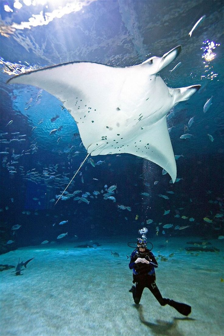 Researchers hope to gather data and learn more about the migratory patterns of mantas.