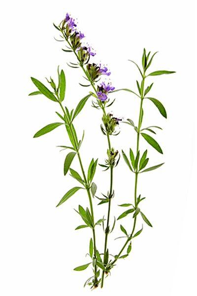Yzop (latinsky: Hyssopus officinalis)