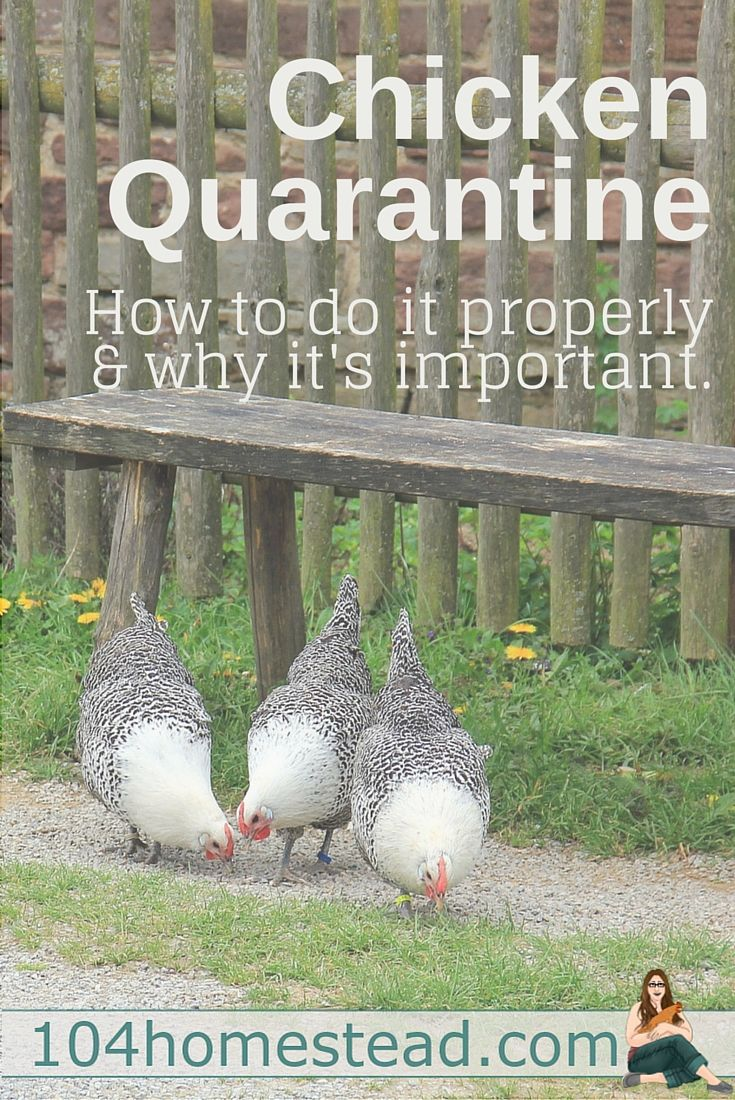 You Need To Quarantine Your Flock Correctly. Keeping ChickensRaising ...