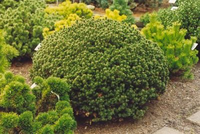 Pinus mugo Liliput