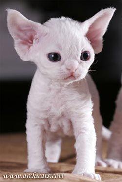 Yoda Kitty! Cute & Tiny, he is actually a Devon Rex kitten