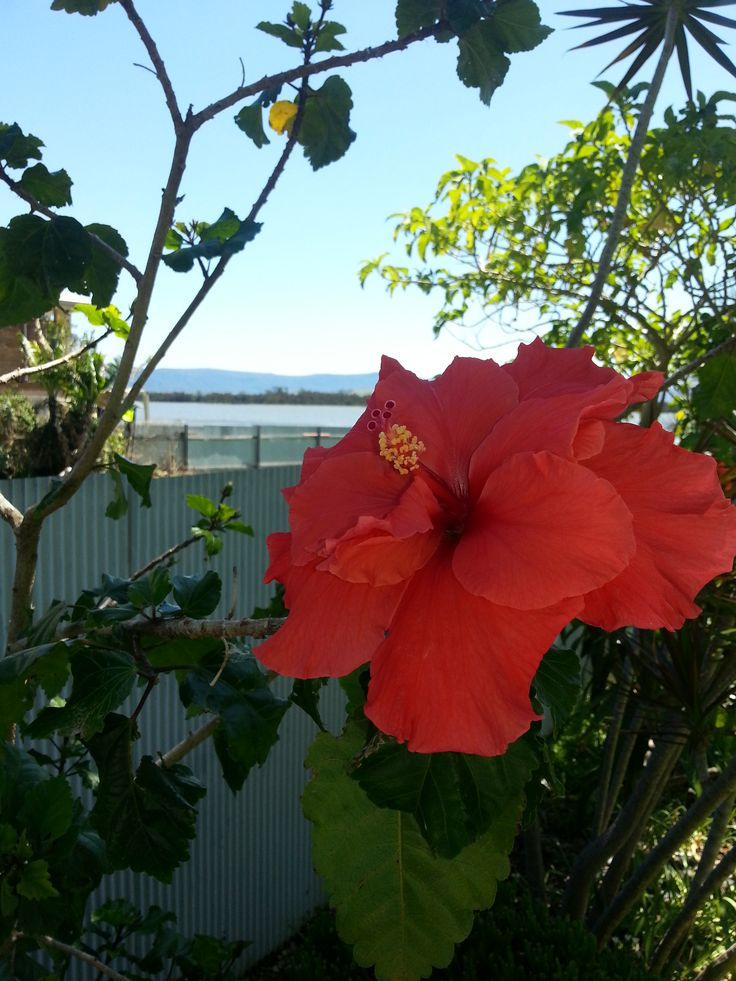 HIBISCUS. WHAT A SHAME THEY ONLY LAST FOR A DAY.