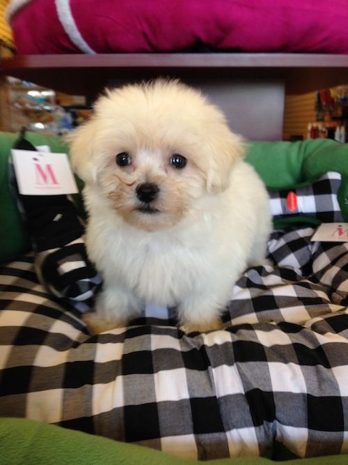 Maltipoo Female Maltese and Poodle Puppy Small