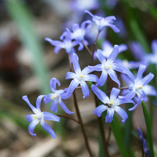 Glory of the Snow        A perfect bulb for naturalizing, glory-of-the-snow creates a bigger colony every year. It blooms in early spring with starry, long-lasting blue flowers. It's an ideal choice for growing with groundcovers such as vinca, lamium, or epimedium.        Name: Chionodoxa forbesii