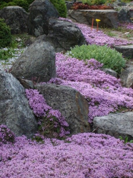 Creeping Thyme Magic Carpet | ... landforms. Below is a small pathway with creeping Thyme in bloom