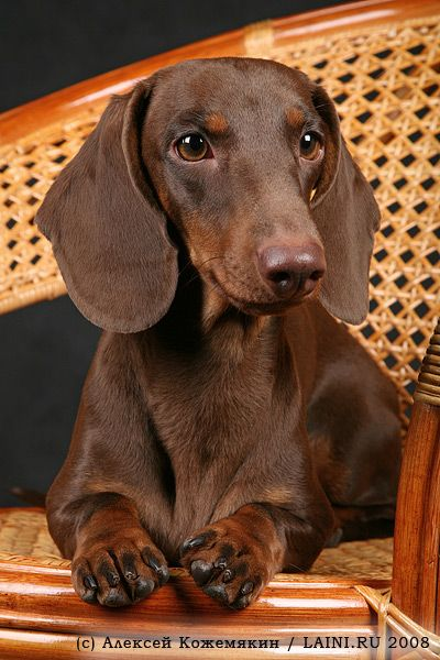 """I love a cane back chair to park.!"" #dogs #pets #Dachshunds www.savingpepper.com                                                                                                                                                                                 More"