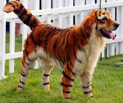 Dog? Tiger? Dog? Which one?