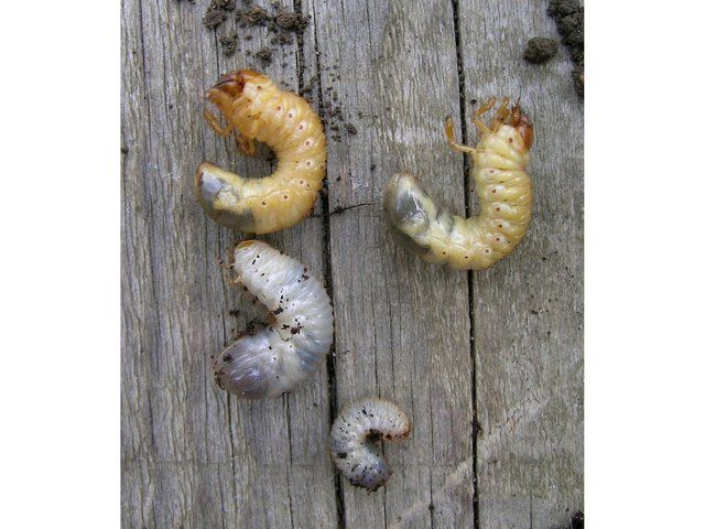 Larves de hanneton (haut) et de cétoine (bas) - Isabelle Diana / wikimedia.org