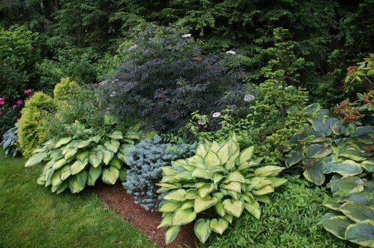 The bright yellow leaves of hostas and blue of a Globe Blue Spruce are the perfect foil for the midnight foliage of 'Black Lace' Elderberry. Kark Gercens.com