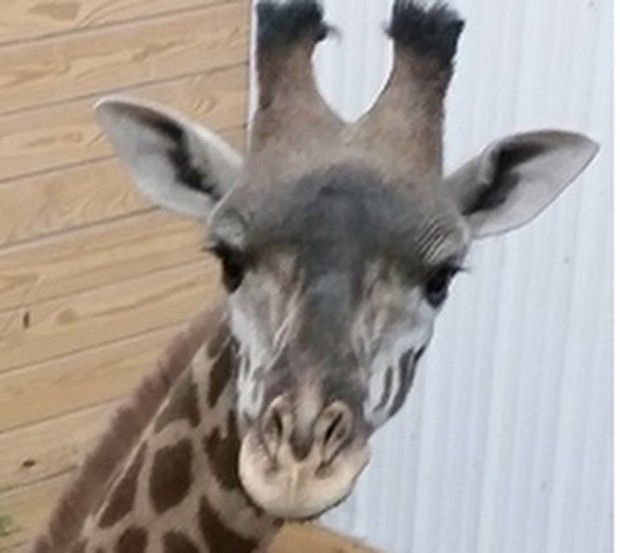 Tatu joins the zoo's other giraffe, Murphy, six months after a young giraffe died from a neck injury.