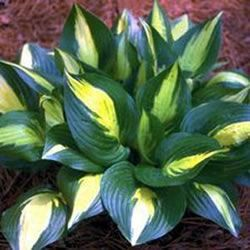 HOSTA American Sweetheart, alan says buy it, its a designer hosta   Journal - Garden Design, Montreal, Perennial Flower Gardens, Gardening Tips, Gardening Advice, Gardening Book Reviews