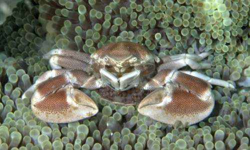 porcelán krab s vajcami