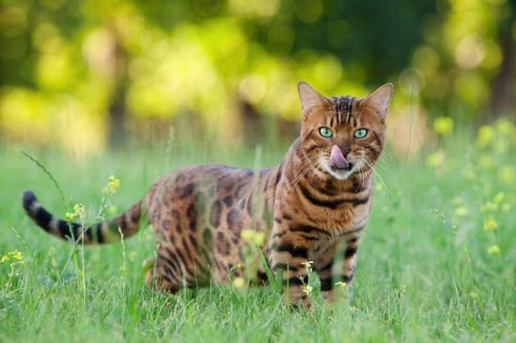 Bengal Cats: The Ultimate Guide to their history, types, characteristics, temperament, and care – Kai
