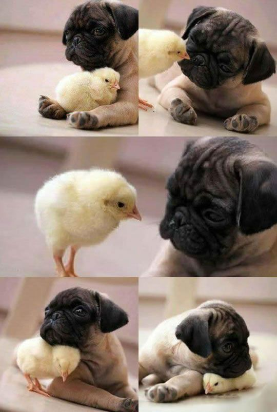 Cute Pug And Chick Love cute animals adorable animal pets pug chick animal odd couples