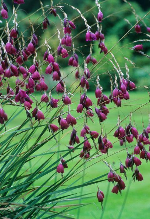 Dierama pulcherrimum Blackbird / repinned by Llewellyn Landscape & Garden…