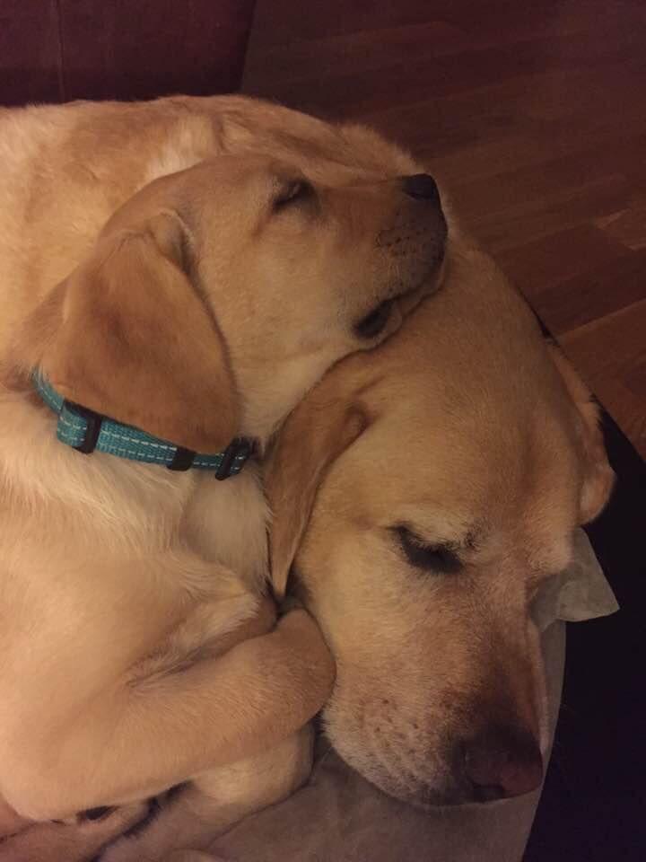 Yellow Lab Group Fb Labrador Retriever Retriever Lab Dogs
