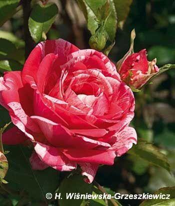 Róża wielkokwiatowa 'Papageno' Rosa 'Papageno'  Kwiaty są ciemnoczerwone z białymi paskami, duże - ok. 12 cm średnicy, pełne. Odmiana ide...