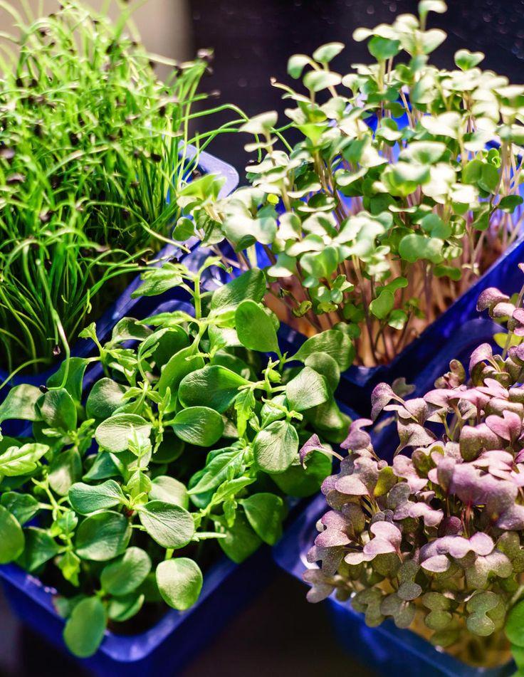 Frische, Geschmack Und Vitamine U2013 In Keimlingen Steckt Die Volle  Pflanzenpower. So Ziehen Sie