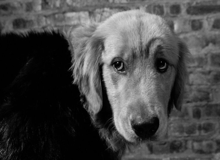 Penny - The Mighty Golden Retriever  |Tags| Photography, South Africa, Lumix, Photography, Film, Portrait, Black and White, Camera, Golden Retriever, Dog, Canon