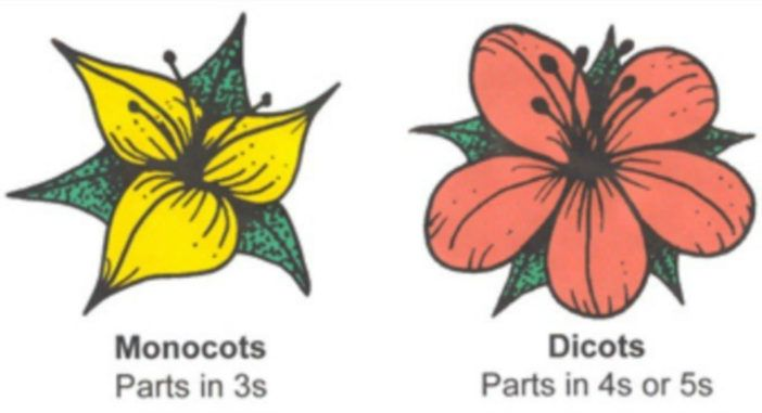 Annotated Drawing Of The Underside Of The Hibiscus Leaf Yahoo Image Search Results Hibiscus Leaves Leaves Diagram