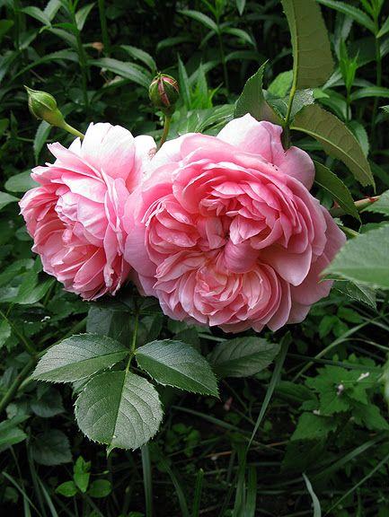 English roses - Rosa 'Anne Boleyn'