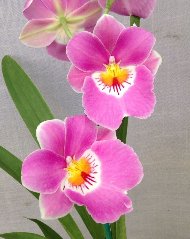 Miltoniopsis Linda Lingle (Saint Helier x Second Love) | Flickr - © Orchids by Hausermann