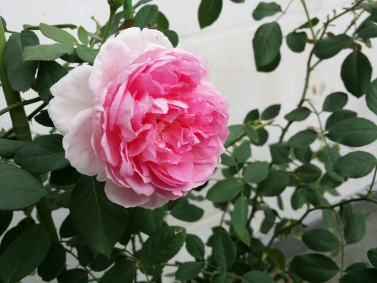 346 Best Images About Roses & Garden On Pinterest | Freedom