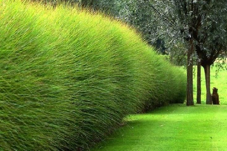 Miscanthus, a very dense shrub that takes the shape of a ball. Easy to maintain and it grows quickly.