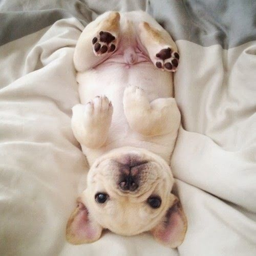 French bulldog puppy, too cute!