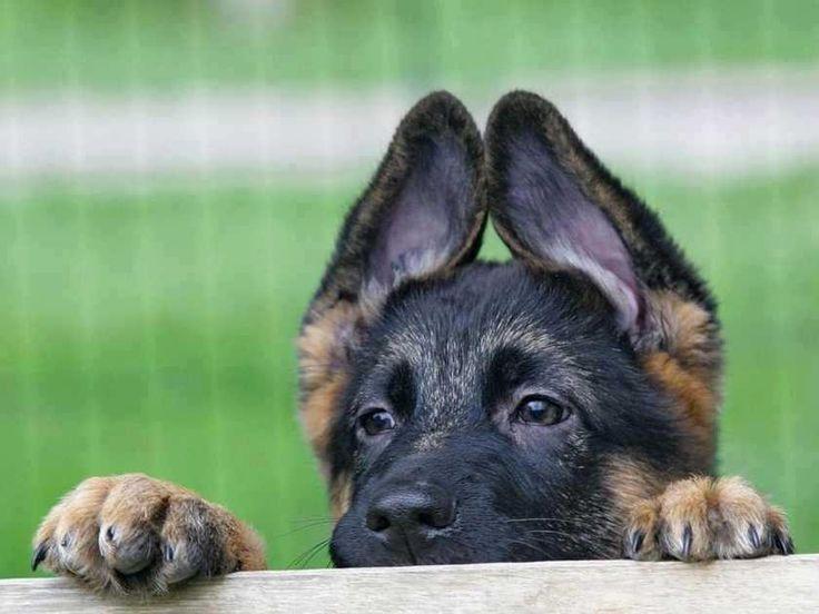 German Shepherd pup. Duitse Herder