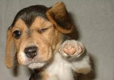 Cute!: Puppies, Funny Dogs, Funny Pictures, Beagles, Funnies, Dogs Pictures, Funny Animal, Babes, Dogs Funny