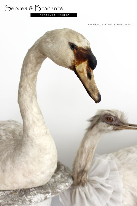 Witte zwaan/ White swan
