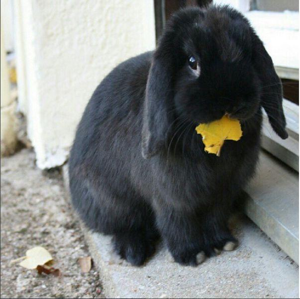 Bidibulle (lapin bélier). Un lapin en ville. L'ensemble de l'article à retrouver sur le blog http://mesptitsbonbons.blogspot.fr/