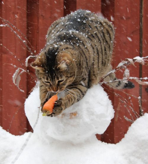 Cat steeling the snowmans carrot nose