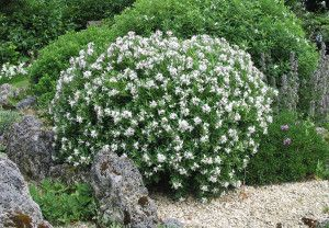 Daphne x transatlantica 'Blafra' 'Eternal Fragrance'   flowers on new growth   April to October