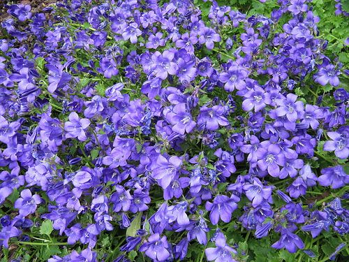 Blue And Purple Flowering Plants That Grow Easily In