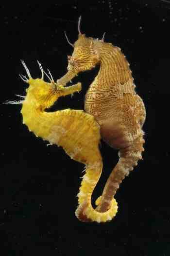 Seahorses kissing