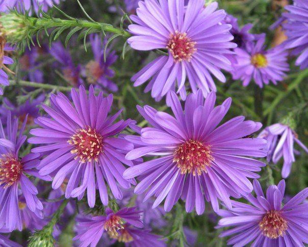 В августе продолжаем посев под зиму семян многолетних цветов. Среди многолетних цветов астры многолетние заслуживают особого внимания. растения имеют густооблиственные побеги высотой от 25 до 160 см. Цветки белые, голубые, фиолетовые, розовые и малиновые. Имеют простые, полумахровые и махровые формы диаметром 1-6 см.