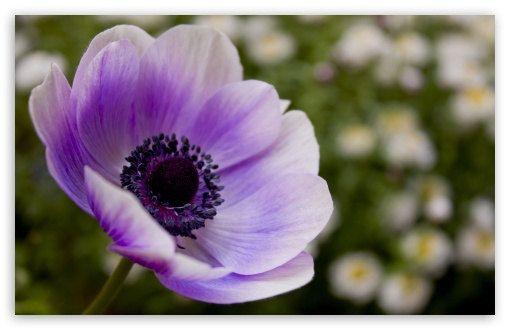 Beautiful Lavender Poppy