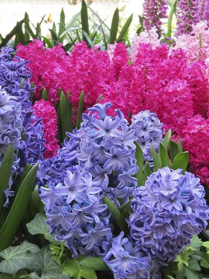 Hyacinths. I have them in my front garden but they never seem to come up. I think our spring is too cold for them.  Pinaholics Chat Room Is Open  http://pinaholics.chatango.com  Pinterest Marketing  http://mkssocialmediamarketing.mkshosting.com/  More Fashion at www.thedillonmall.com  Free Pinterest E-Book Be a Master Pinner  http://pinterestperfection.gr8.com/