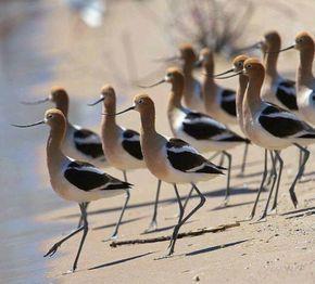 photo ... shorebirds taking a stroll ...