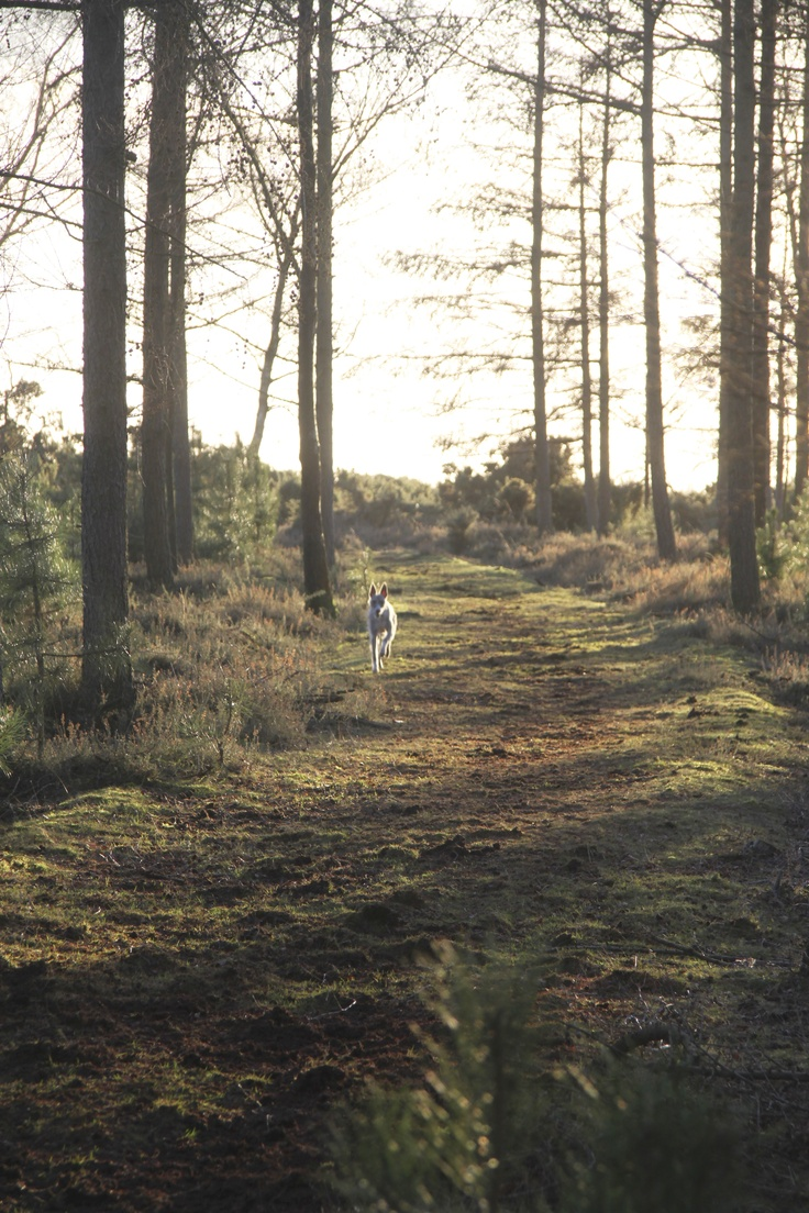 Dog running free, with the wind in her ears, in the New Forest.
