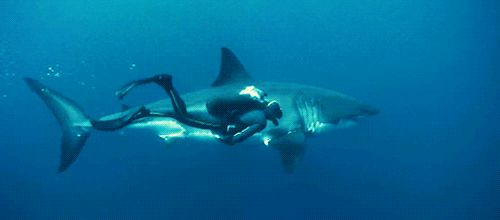 Great White Shark-Keep in mind that the man looks bigger because he is closer to the camera...
