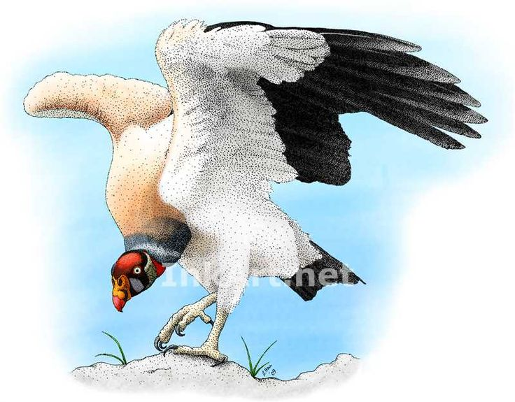Full color illustration of a King Vulture (Sarcoramphus papa)