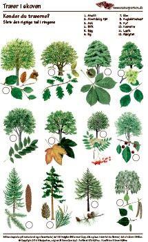 Kender du træer i skoven http://naturporten.dk/aktiviteter/aktivitetsark