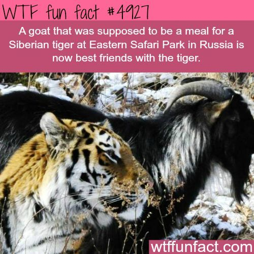 Goat and tiger best friends - WTF fun facts